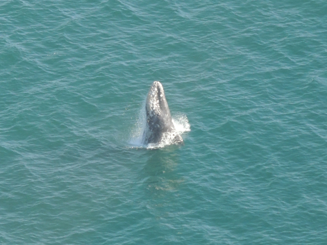 oxnard helicopter tours with Helicopter Tour Ventura County Humpback Whale Sighting on User details likewise Local Attractions moreover Whale Watching Air as well multibusinessdirectory furthermore Whale Watching Air.